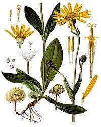 Arnica plante robuste des montagnes