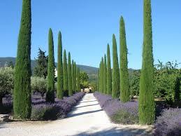 Belle image de Cyprès de provence