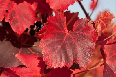 Stop aux jambes lourdes | Gel de massage à la vigne rouge
