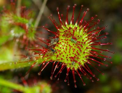 Droséra : la plante carnivore qui fait maigrir